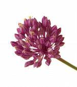 foto of leek  - Allium ampeloprasum wild leek isolated on white background - JPG