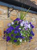 foto of petunia  - Beautiful hanging basket of blue and purple petunias against a stone wall - JPG