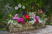 image of petunia  - Colorful plants in stone trough including begonia petunia fuchsia - JPG