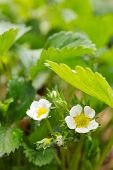 stock photo of strawberry plant  - Flowers of a strawberry plant.Strawberry flowers in the garden. ** Note: Shallow depth of field - JPG