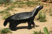 stock photo of badger  - Honey badger  - JPG