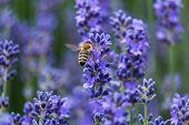 foto of lavender plant  - Lavender in bloom with bee close up of scented plant with insect - JPG