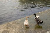 pic of duck pond  - Two cute ducks strolling around the pond - JPG