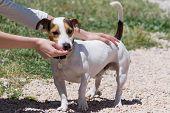 picture of feeding  - Girl feeding a beautiful jack russell dog - JPG
