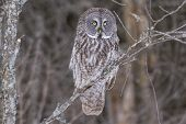 picture of snowy owl  - A lone Great Grey Owl in winter - JPG