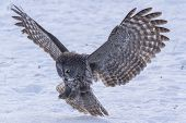 pic of snow owl  - A lone Great Grey Owl in winter - JPG