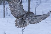 picture of snow owl  - A lone Great Grey Owl in winter - JPG