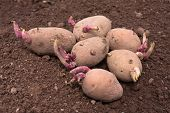 stock photo of germination  - germinating potato before the planting in the vegetable garden - JPG