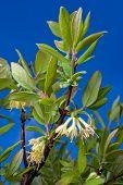 foto of honeysuckle  - leaves and flowers of honeysuckles on the sky background - JPG