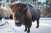 foto of aurochs  - Big aurochs in winter forest - JPG