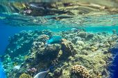 picture of sea-scape  - Coral fish in Red Sea - JPG