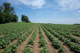 picture of solanum tuberosum  - Potatoes growing on a rolling hillside in Central PA on a bright sunny day - JPG