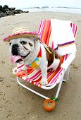 stock photo of beach party  - Bully loves to lounge at Dog Beach - JPG