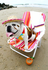 image of beach party  - Bully loves to lounge at Dog Beach - JPG