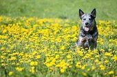 Summer Portrait Of Happy Australian Cattle Dog On Dandelions Meadow. Purebred Dog Posing Sitting Amo poster