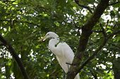 Great Egret Bird Sitting In The Top Of A Tree. poster