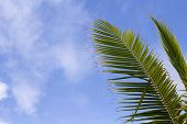 Green Palm Leaf Over Blue Sky. Tropical Nature Minimal Photo For Background. Coco Palm Leaf Banner T poster