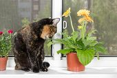 Domestic Cat Tortoiseshell Color Sits On Window Sill And Sniffs Gerbera Flower poster