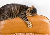 Cat Lies On Back Of Scratched Leather Armchair. Scratched Leather Furniture. poster