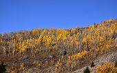 foto of cottonwood  - Row of Cottonwood trees in Autumn time - JPG