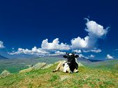 picture of caw  - A caw lies on a hill on a background of green mountains and sky with clouds - JPG