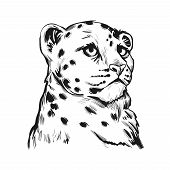 Snow Leopard Baby Tabby Portrait In Closeup Isolated Sketch T-shirt Print Monochrome. Vector Spotted poster