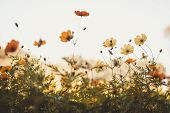Yellow Cosmos Flower Blooming In The Field, Vintage Tone . The Cosmos Flower Of Grassland .beautiful poster
