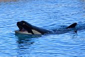 Portrait Of A Killer Whale (orcinus Orca) Swimming In The Water During A Whale Show poster