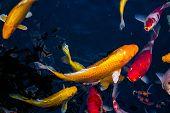 Japan Koi Fish Swimming In A Water Garden,fancy Carp Fish,koi Fishes,koi Fish Swim In Pond.isolate B poster