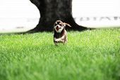 picture of chiwawa  - Small Chihuahua - JPG