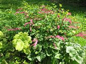 picture of broken heart flower  - Ditsentry magnificent flowering bush  - JPG