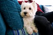 Portrait Of West Highland White Terrier Dog In Addition To His Owner On Bed, Couch And Sofa Is Posin poster