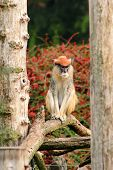 Portrait Of A Monkey Is Sitting, Resting And Posing On Branch Of Tree In Garden. Patas Monkey Is Typ poster
