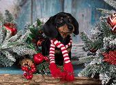 dachshund purebred puppy in  santa in scarf poster