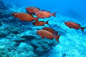 Crescent Tail Bigeye In The Deep Blue With Corals Reef. poster