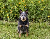 picture of cattle dog  - Healthy Australian cattle dog with flower background - JPG