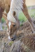 Portrait Of A Shetland Pony Horse With Beautiful Mane, Eating Grass On The Field. No People. Vertica poster
