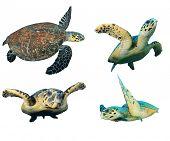 foto of hawksbill turtle  - Hawksbill Sea Turtles isolated on white - JPG