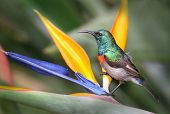 Lesser Double Collared Sunbird On A Colourful Flower In Kirstenbosch Botanical Garden In Cape Town S poster