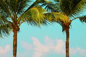A Large Green Crown Of Tropical Coconut Palm Trees Growing In An Exotic Resort. Palm  With Large Bra poster