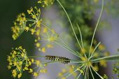 image of inchworm  - A tiny caterpillar eats my dill plant