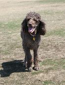 stock photo of standard poodle  - Brown standard poodle full body with mouth open - JPG