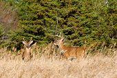 stock photo of deer rack  - Whitetail Deer Buck standing in a field - JPG