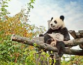 Young giant panda bear sitting