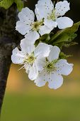 image of bing  - These are the lovely white flowers of a Bing cherry tree in full bloom for spring - JPG