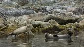 stock photo of northern hemisphere  - The harbor seal - JPG