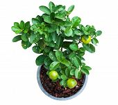 pic of coir  - Isolated Young lemon tree plant in pot with clipping path from top view - JPG