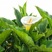 pic of arum lily  - BlossomingWhite Calla Lily flower with drops is isolated on white background - JPG
