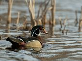 image of duck-hunting  - A pretty Male Wood Duck in the spring - JPG