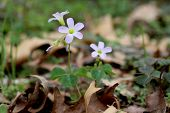 stock photo of sorrel  - A wild violet wood sorrel wildflower native to the united states grows on the forest floor - JPG